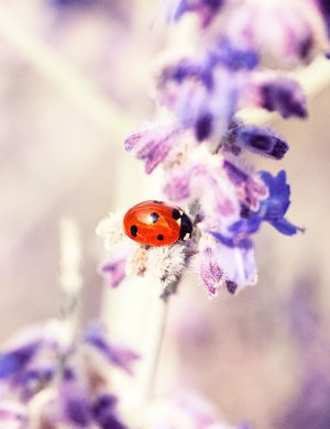 ladybird in nature