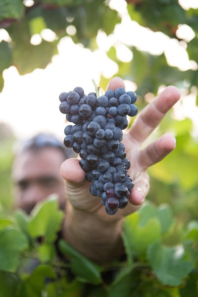 Holing red wine grapes