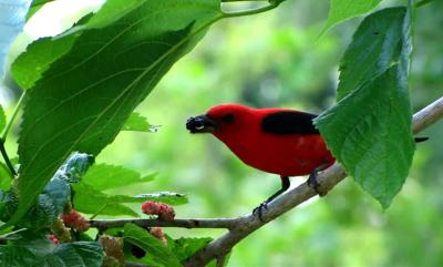 bird eating a berry