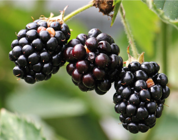 Blackberries for blackberry wine recipe
