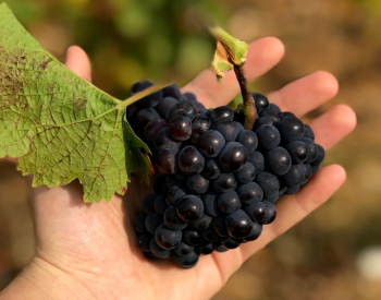 Grapes for grape wines