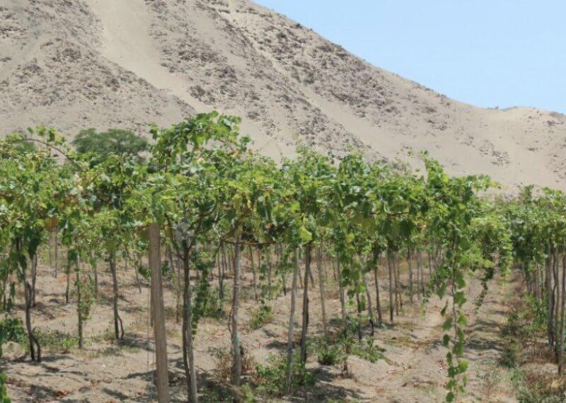 Bodega-Vista-Alegre-Peru-Vineyards