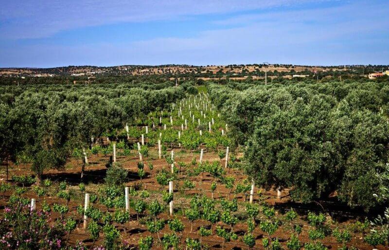 Vineyards-in-Morocco
